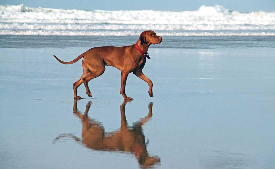 Vizsla Irk Köpeği